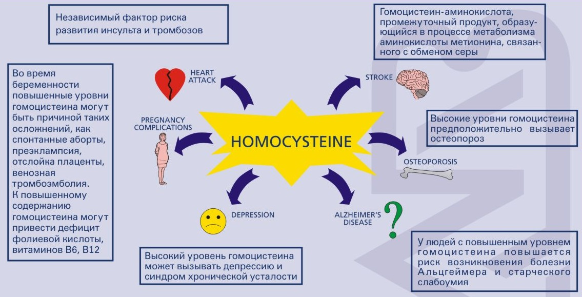 thesis homocysteinemia Homocysteine and b-vitamin metabolism overview of homocysteine and folate metabolism with special references to cardiovascular disease and neural tube defects.